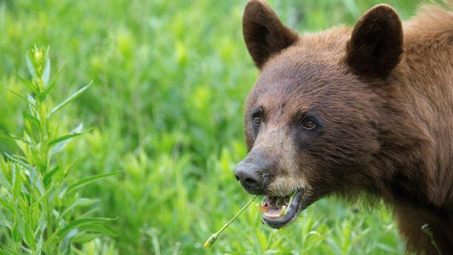 熊出没请注意!黑熊入侵费城市内引起恐慌